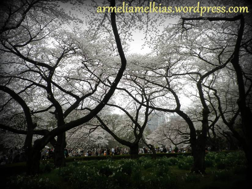 Walking under white cherry blossom